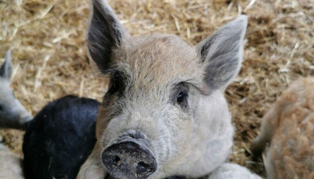 Bild 1 Wollschweine
